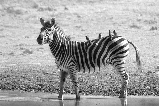 Zebra, Wildlife, Africa, Safari, Wild, Nature, Mammal