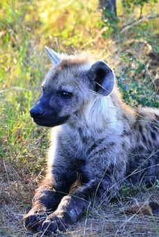 Spotted Hyena, Hyena, Africa, South Africa, Wildlife