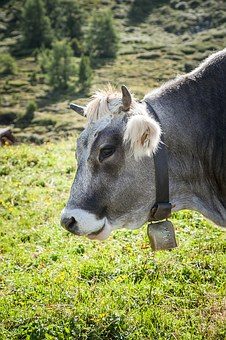 Cow, Off, Austria, Tyrol, Meadow, Beef, Nature, Cows