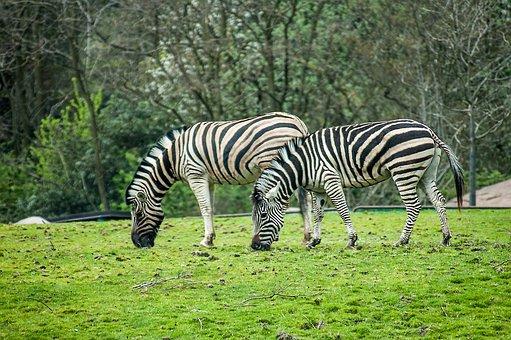 Zebra, Stripes, Zoo, Black, White, Safari, Mammal