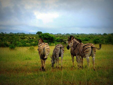 Africa, South Africa, Zebras, Wild, Wildlife, Animal