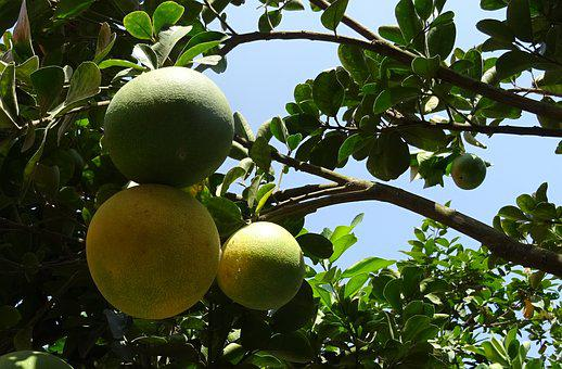 Fruit, Grapefruit, Ripe, Yellow, Green, Citrus Paradisi