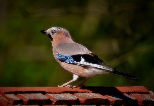Jay, Bird, Songbird, Animal, Feather, Animal World