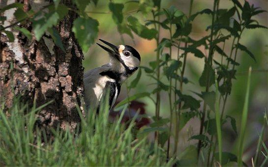 Great Spotted Woodpecker, Male, Bird, Woodpecker, Males