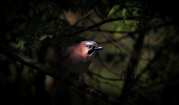 Jay, Bird, Songbird, Animal, Feather, Animal World