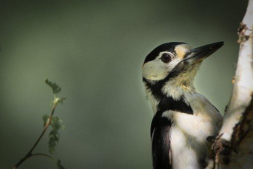 Great Spotted Woodpecker, Male, Feeding Place, Feeding