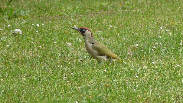 Woodpecker, Bird, Grass, Meadow, Feeding Place