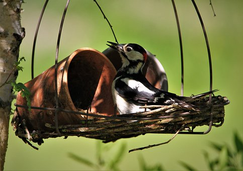 Great Spotted Woodpecker, Male, Foraging, Feeding Place