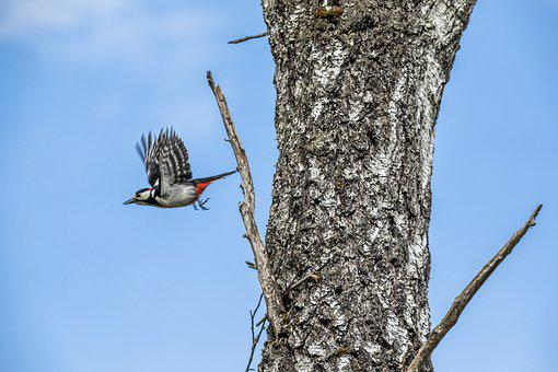 Sky, Great Spotted Woodpecker, Multi Colored, Brown