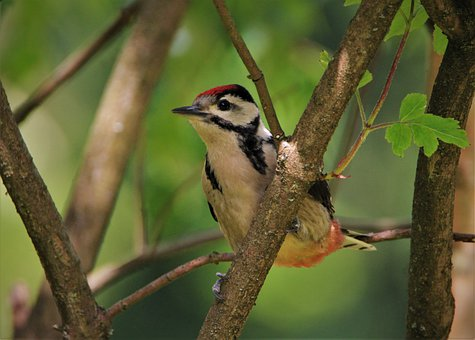 Great Spotted Woodpecker, Woodpecker