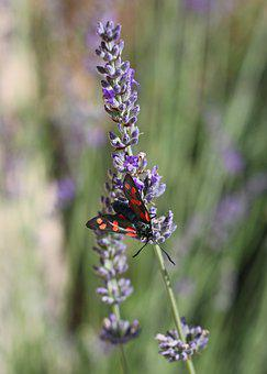 Lavender, Nature, Flowers, Garden, Insect, Moth