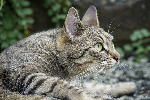 Cat, Curious, Mackerel, Pet, Attention, Mammal