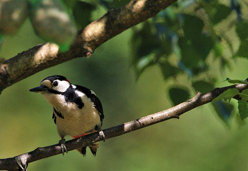 Great Spotted Woodpecker, Branch, Nature