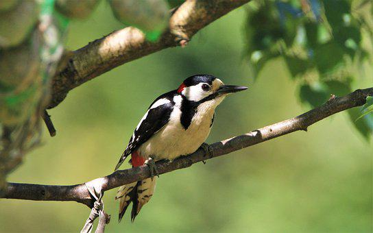 Great Spotted Woodpecker, Branch, Nature, Woodpecker