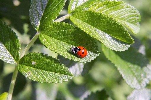 Summer, Ladybug, Insect, Beetle, Nature, Macro, Red