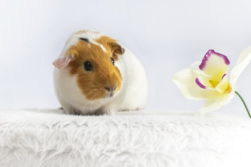 Animal, Guinea Pig, Rodent, Cute, Pet, Hairy, Mike