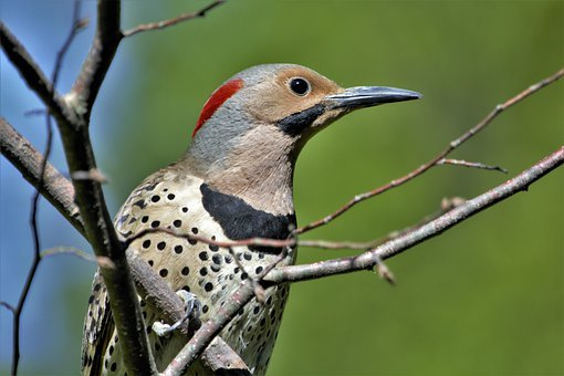 Woodpecker, Flicker, Closeup, Profile, Perched, Bird