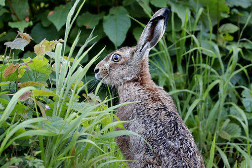 Hare, Long Eared, Rabbit, Rabbit Ears, Rodent, Grass