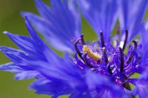 Caterpillar, Spin, Cornflower, Thread