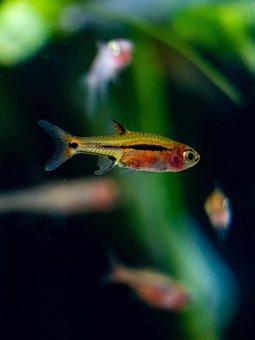 Razbora, Spot, Tail, Fish, Aquarium, Fauna, Freshwater