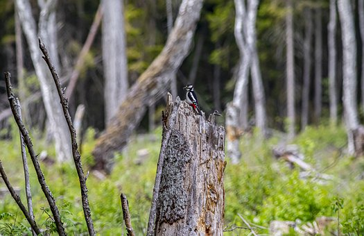 Stump, Great Spotted Woodpecker, Multi Colored, Brown