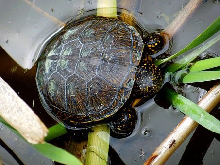 Turtle, Swamp Turtle, Reptile, Nature, Animal, Lake