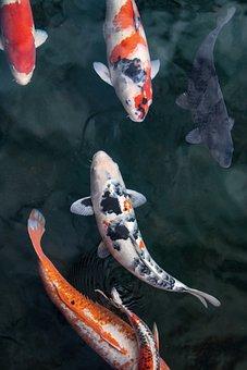 Koi, Fish, Carp, Japanese, Swim, Pond, Fish Swimming