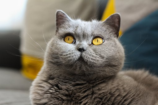 Cat, British, Short Hair, Breed Cat, View, Eyes, Animal