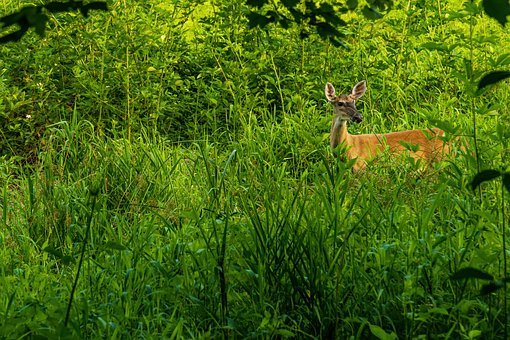 Whitetail Isolated, Whitetail Doe