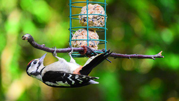 Great Spotted Woodpecker, Bird, Woodpecker, Forest Bird