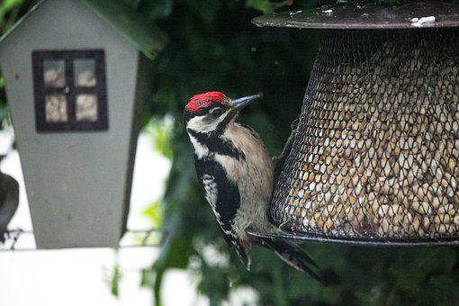 Woodpecker, Bird, Nature, Great Spotted Woodpecker