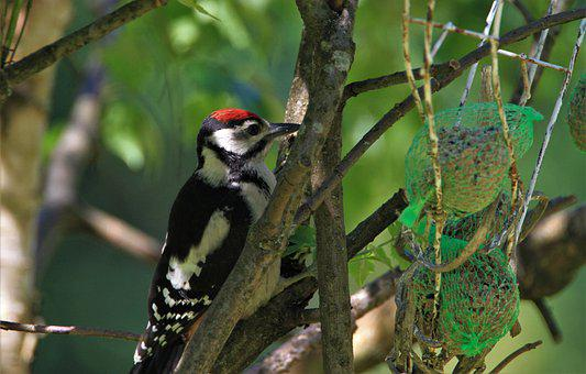 Great Spotted Woodpecker, Young Animal, Young Bird