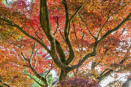 Acer, Autumn Colour, National Trust