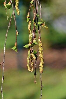 Birch Seeds, Birch Pollen, Birch, Aesthetic, Branches