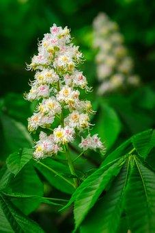 Chestnut Blossom, Blossom, Bloom, Bloom, Chestnut Tree