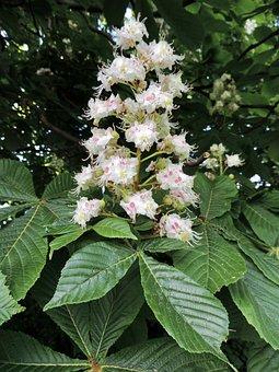 Chestnut, Chestnut Tree, Tree, Chestnut Blossom