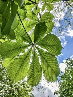 Chestnut Leaves, Chestnut Tree, Chestnut