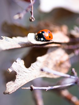 Leaves, Faded, Ladybug, Withered, Beetle, Dehydrated