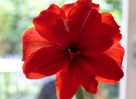 Amaryllis, Red, Double, Indoor Plant