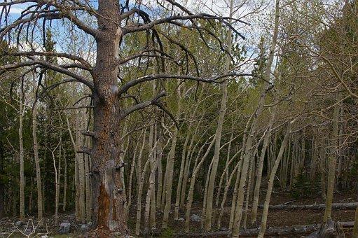 Trees, Aspens, Ponderosa Pine, Forest