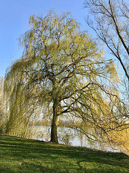 Weeping Willow, Tree, Pasture, Nature, Park
