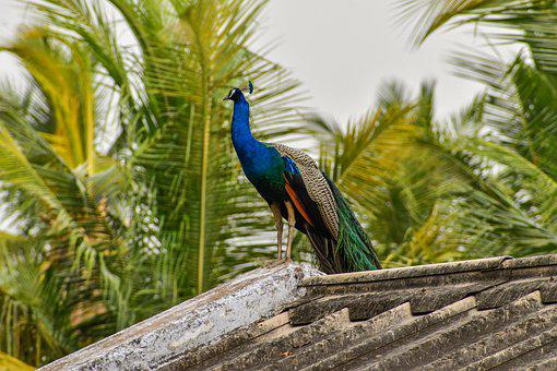 Peacock, National Bird, India, Blue, Nature, Colorful