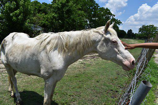 Albino Horse, Child, Petting, African American