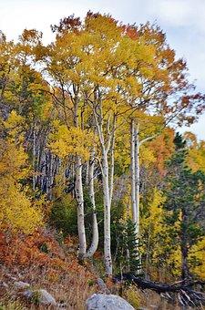 Aspens, Rockies, Colorado, Rocky Mtn, National Park