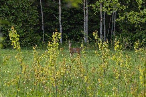European Roe Deer, Capreolus Capreolus, Forest, Trees