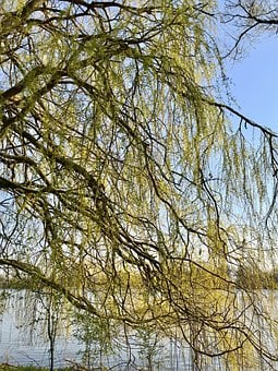 Weeping Willow, Elbe, Sky, Deciduous Tree, Nature