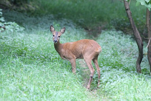 Roe, Deer, Woodland, Wildlife, Animal, Nature, Wild