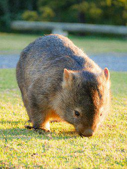 Adorable, Animal, Australia, Bear, Beautiful, Brown