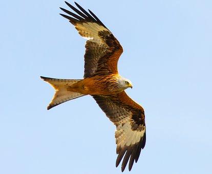 Red Kite In Flight, Red Kite, Raptor, Bird, Feather