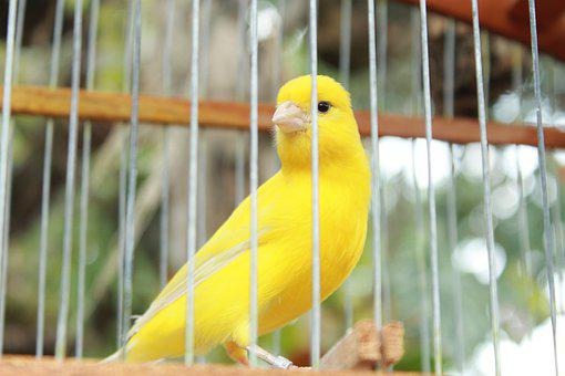 Bird, Yellow, Canary, Nature, Animal